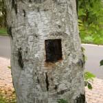 Das Loch, welches der Hanswurst in den Baum gebohrt hat