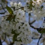 Die Blüten in voller Prach